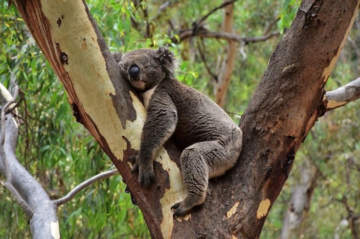 adelaide-morialta-conservation-park-koala