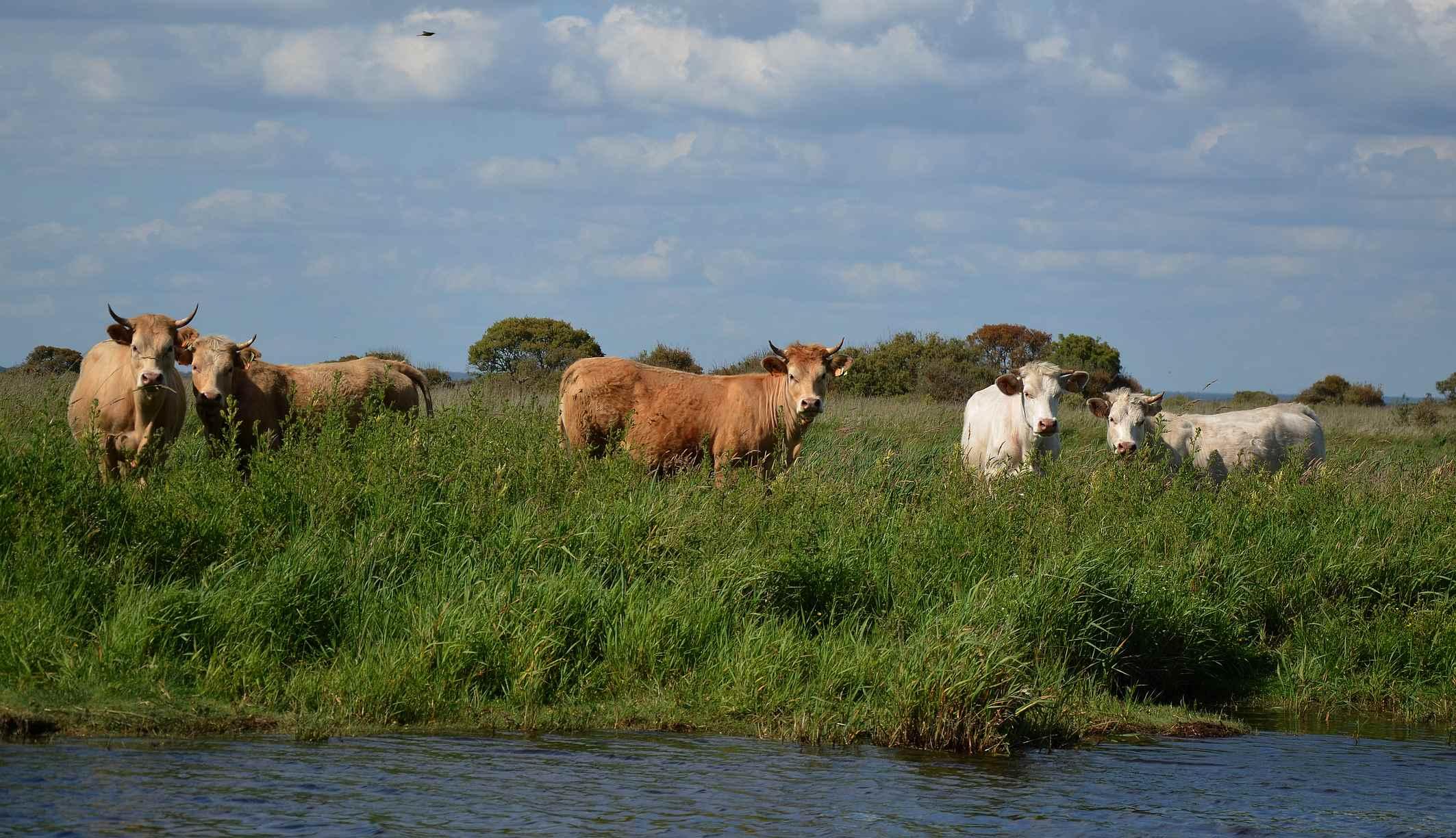 vaches-en-paturage-dans-le-marais